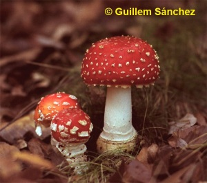 Am_muscaria2