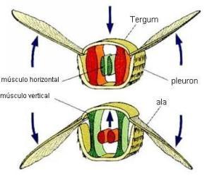 aparato-alar-de-los-insectos
